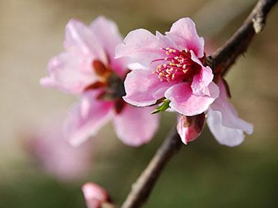 桃花是什么生肖