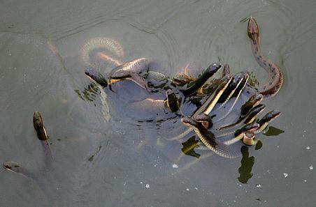 千条水蛇伴乌龟游进珠江 金蛇狂舞吓坏女工(图)
