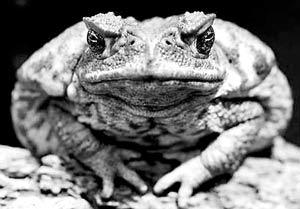 澳大利亚毒蟾蜍总数接近一亿 议员呼吁棒杀(图)