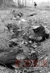 圆明园灌木被大面积砍伐(图)