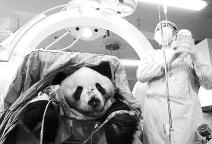 世界首例大熊猫脊椎截瘫修复手术成功