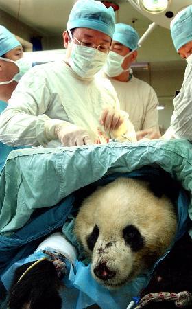 接受脊椎手术大熊猫恢复良好 不确定是否能站立