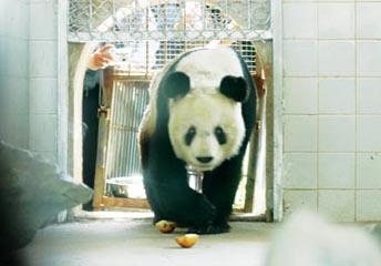 """大熊猫""""青青""""到南京 市民5年未见热情高(图)"""