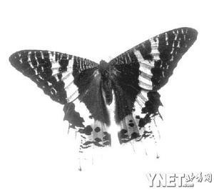 """""""两只蝴蝶""""大行其道 试解中国人的蝴蝶梦境"""