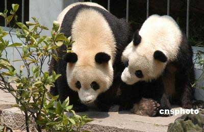 福州举行仪式欢迎大熊猫福福和林阳落户(图)