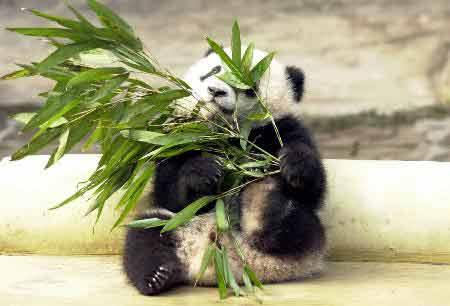 """大熊猫""""小小"""""""