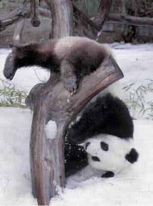 大熊猫在雪地里玩耍