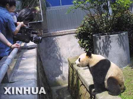 """游客拍摄大熊猫""""林阳"""""""