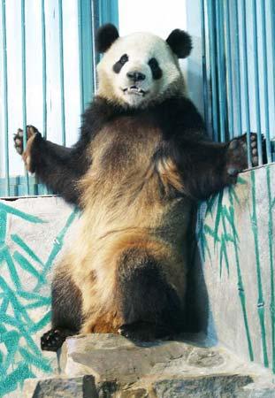 """大熊猫""""成成""""杭州亮相"""