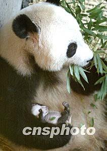大熊猫怀抱幼崽首次向游客亮相