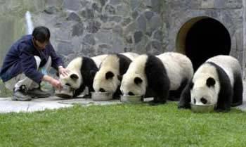 关注大熊猫命运