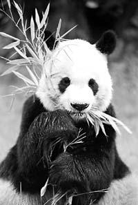 """台湾掀起""""大熊猫热"""" 泛绿阵营内又惊又怕(图)"""