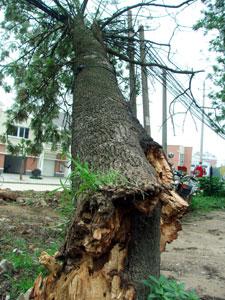 大树斜斜靠在路边的电线上,15根电线在大树重压下已经变形,树摇摇欲倒图片