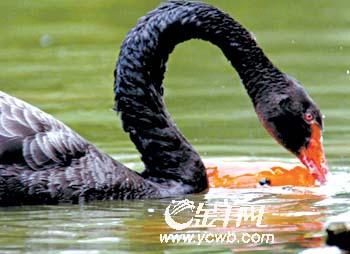 ,在广西南宁市动物园,一只红鲤 天鹅与鲤鱼融洽进食的情景,构成