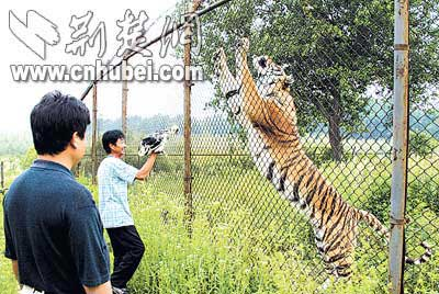终日以鸡架骨为食 野生动物园八头雄狮饿死(图)