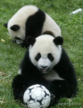 四川熊猫踢足球 其中两只将赴台(图)