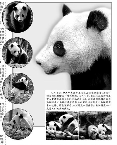 台将公布候选熊猫照片 马英九将为熊猫定名(图)