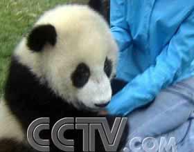 探访卧龙 选秀熊猫