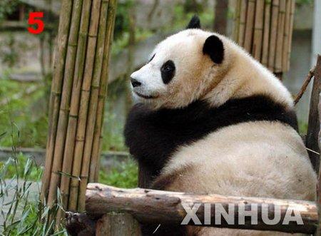 为赠予台湾的大熊猫大征名活动