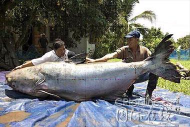 泰国湄公河发现一只如灰熊般大小的鲶鱼