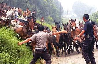 新闻频道 综合 扬子晚报     9日上午,从云南送茶进京的马帮