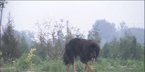 推荐:《藏獒情未了》一部人与动物的感人故事