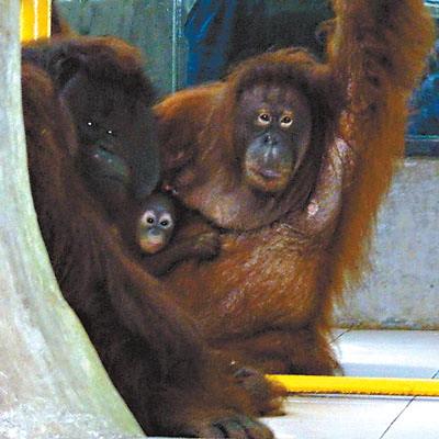 红毛猩猩夫妻团圆(图)