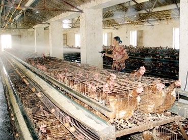 东台市许河镇享有苏北养鸡第一镇美称(图)