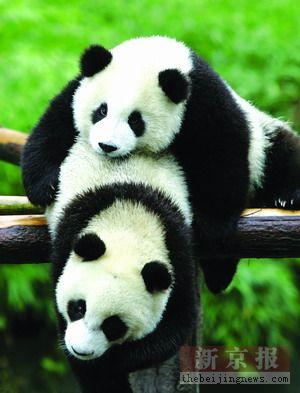 国家林业局公布赠台熊猫年龄体况等优选五标准