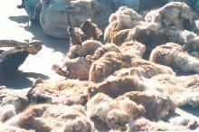可可西里野牦牛队 八名成员因何被拘