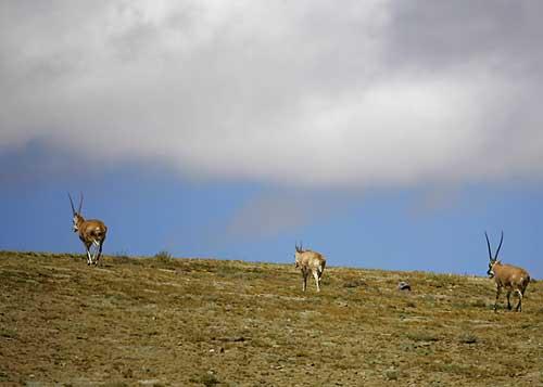 野生藏羚羊