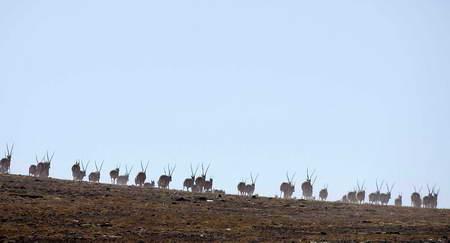 独山附近的藏羚羊