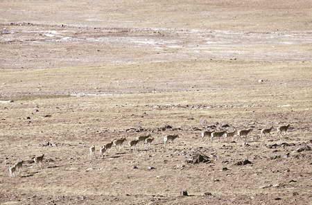 独山附近的雌性藏羚羊
