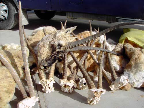 在过去反盗猎中收缴的藏羚羊头、皮