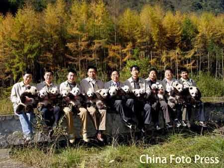 组图:四川卧龙16只熊猫宝宝晒太阳