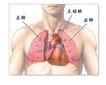 正常的心肺示意图2-心肺移植手术全过程 组图