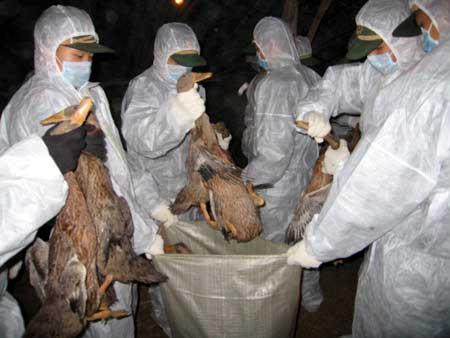 辽宁黑山杀鸡之痛 政府将为此付出6千万元