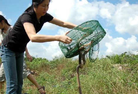 海口野生动物保护站放生百余眼镜蛇和黄环蛇(图)