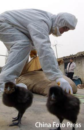 新疆泽普、乌鲁木齐两县9日发生高致病性禽流感