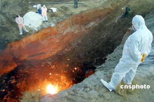 图:新疆集中焚烧禽流感疫区家禽