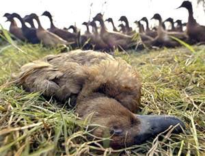 越南 被禽流感严重侵袭的国家