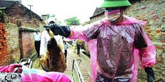 越南检疫人员扑杀家禽