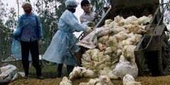 卫生人员填埋染病家禽