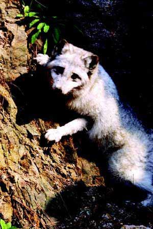 养狐人老母重病久治不愈 听劝说放生上百只银狐