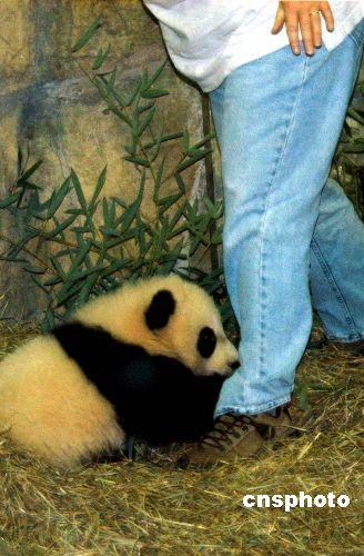 """图:顽皮淘气的熊猫宝宝""""泰山"""""""