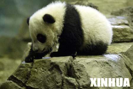 """熊猫宝宝""""泰山""""将与公众见面(组图)"""