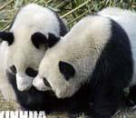 候选熊猫亲密嬉戏