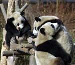 三只候选熊猫