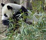候选熊猫进食