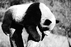 揭开大熊猫性格测试的秘密